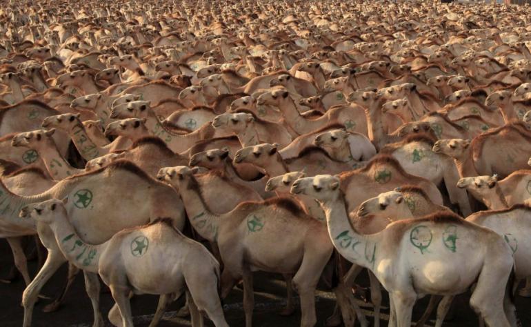 camels_australia_1.JPG