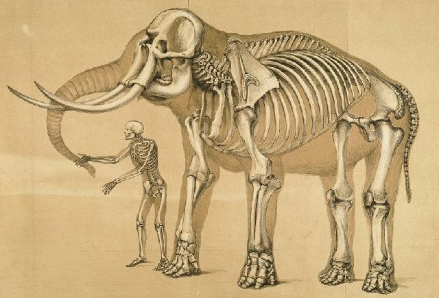 Comparative_view_of_the_human_and_elephant_frame,_Benjamin_Waterhouse_Hawkins,_1860.jpg