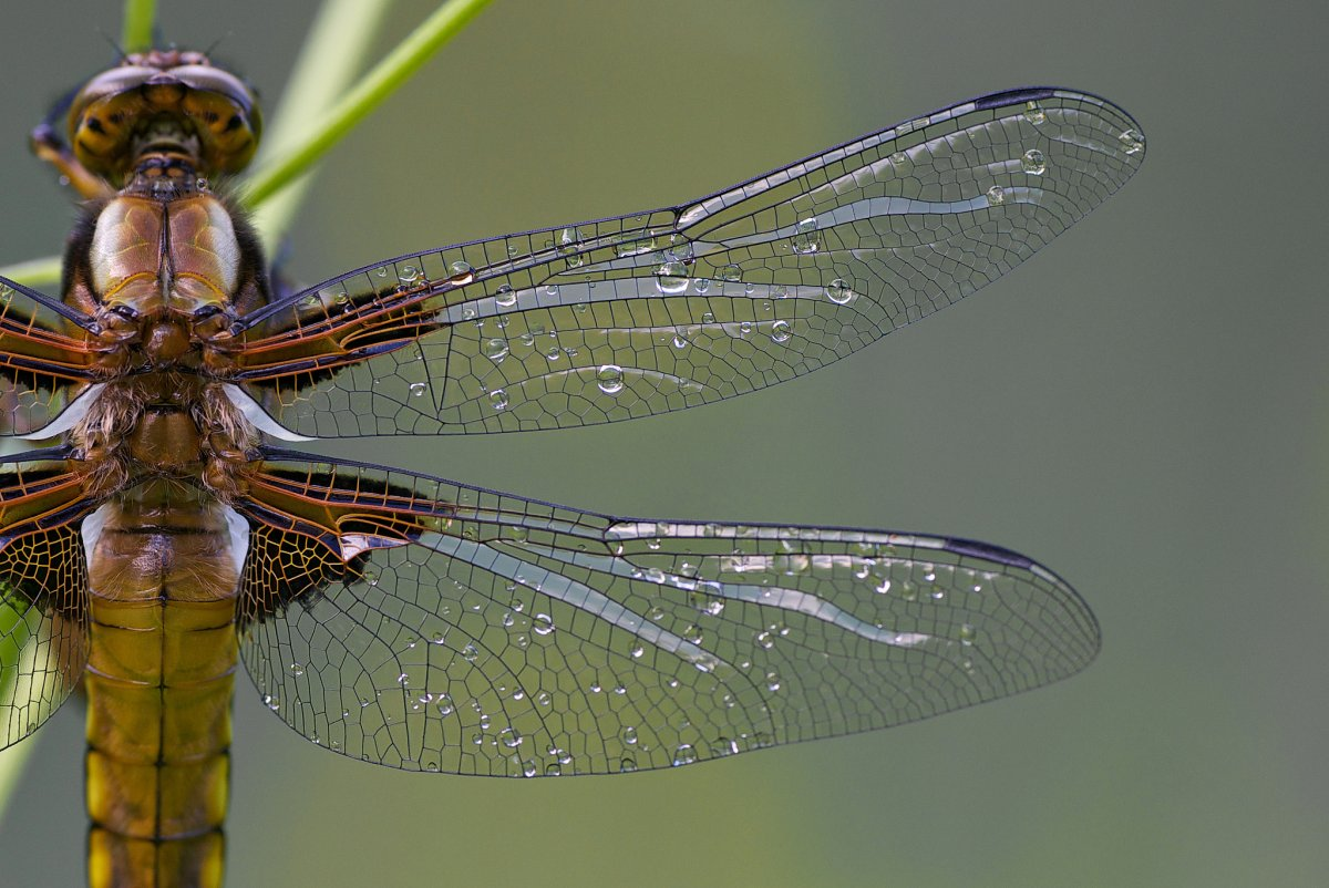 Dragon fly.jpeg