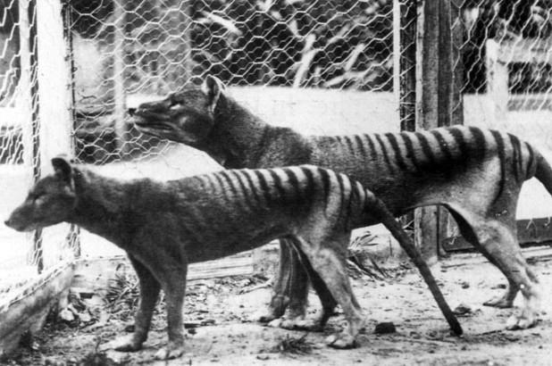 tasmanian-tiger.jpg