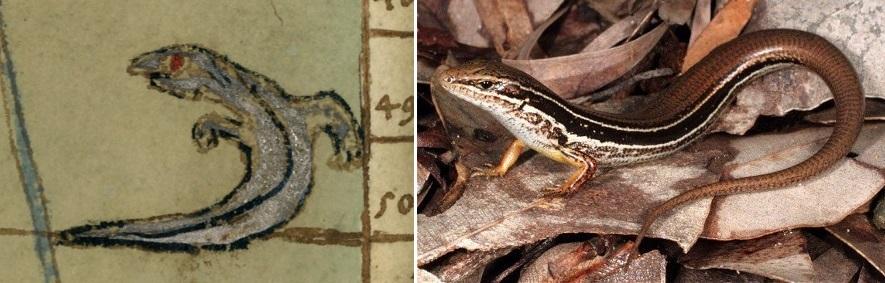 Two-legged lizard snake_Australia_2_11.jpg