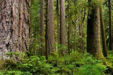 Mount+Rainier+National+Park_douglas_Fur_4.jpg