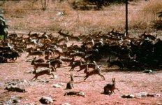 australian_rabbit_1.jpg