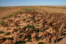 camels_australia_2.jpg