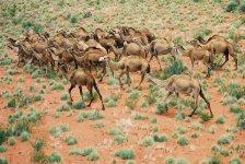 camels_australia_3.jpg