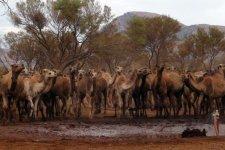 camels_australia_4.jpg
